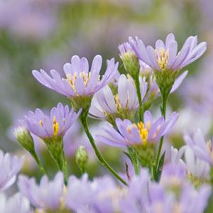 紫苑2_shion_L