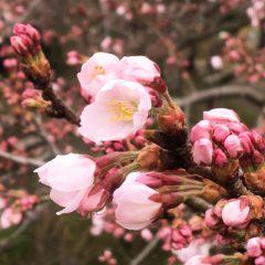 東京日本橋「京都おくりもの帖」と「日本橋 桜フェスティバル」のご案内