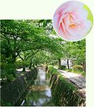 哲学の道の山茶花