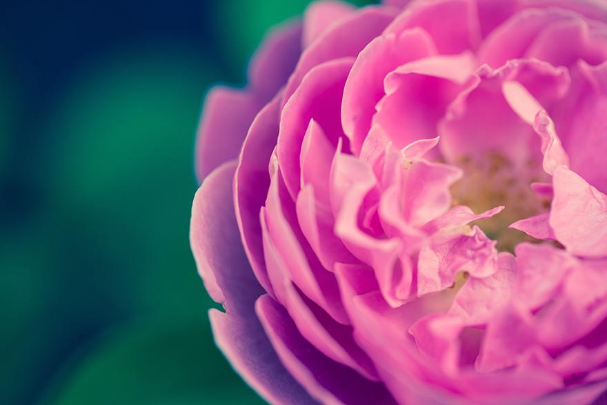 晩春から夏に紅色の花をつける庚申薔薇
