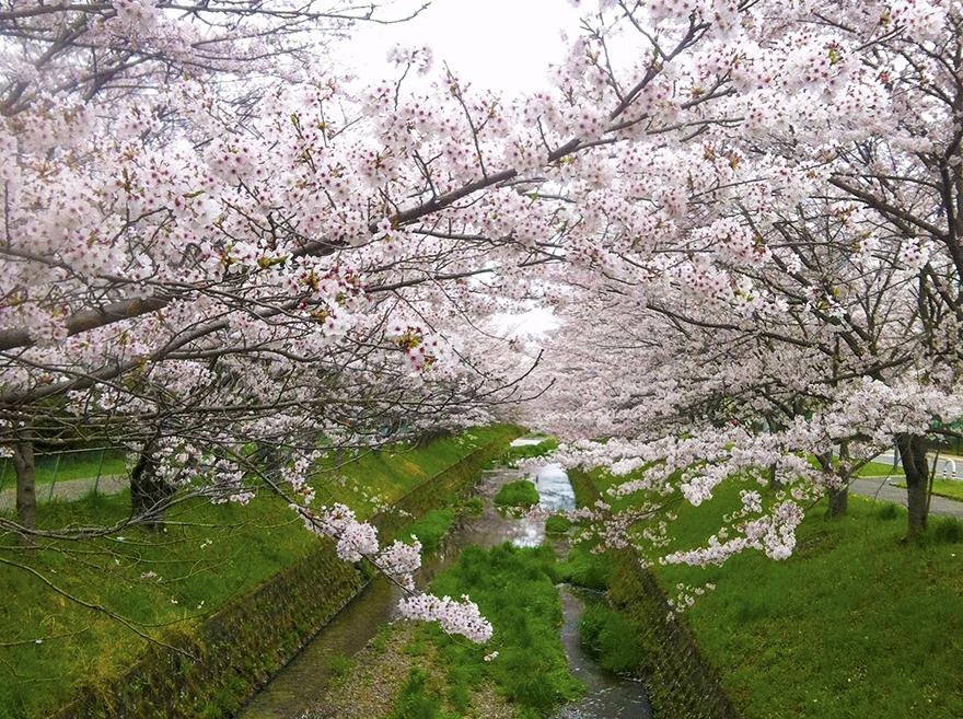 花霞の花は満開の桜