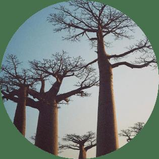 バオバブ種子油